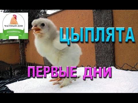 Цыплята  Пошаговый уход #1 первые дни