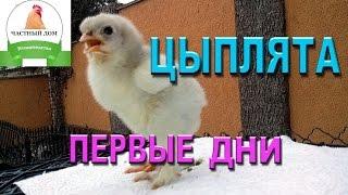 Цыплята  Пошаговый уход #1 первые дни(Это первое видео из серии :