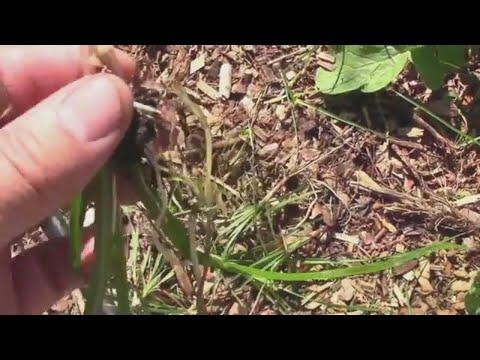 Battling Nutsedge In My Vegetable Garden – And What it Looks Like.