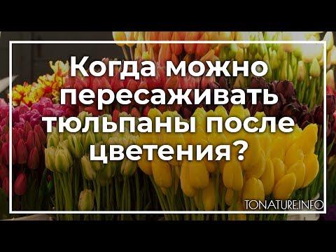 Когда можно пересаживать тюльпаны после цветения? | toNature.Info