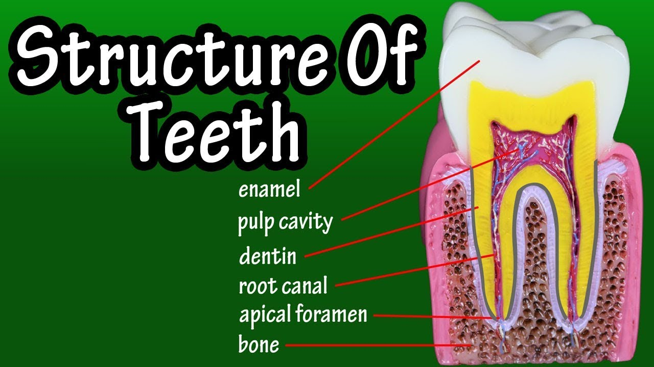 Structure Of Teeth In Humans Functions Of Teeth In Human Body
