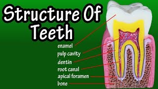 Structure Of Teeth In Humans  Functions Of Teeth In Human Body  Types Of Teeth
