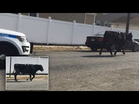 Runaway Bull That Escaped Slaughterhouse Dies After Being Chased By NYPD