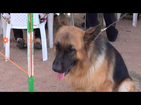 Attractive German Shepherd Dog Kennel Club Dog Show