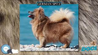 German Spitz  Everything Dog Breeds