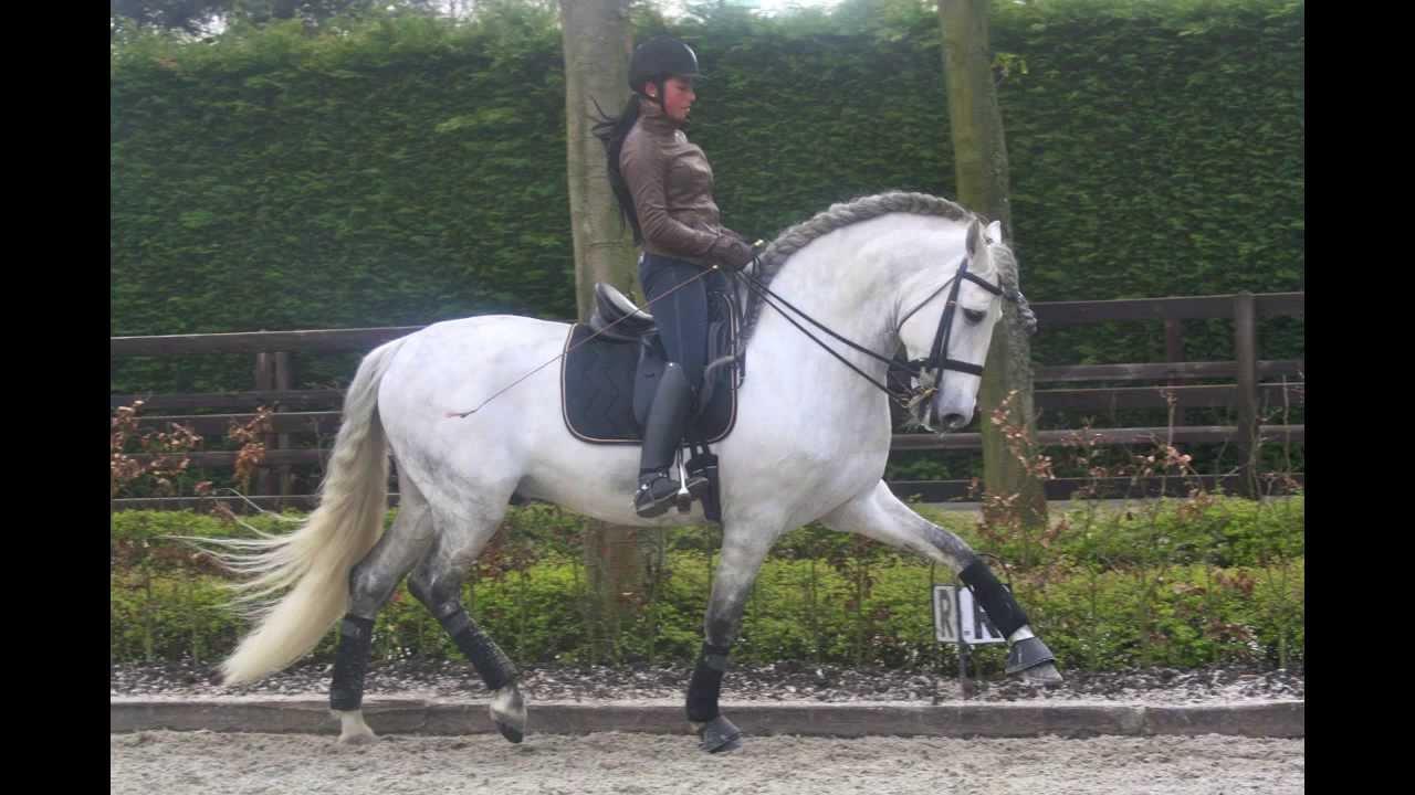 Pre Andalusian Dressage Stallion Argentino
