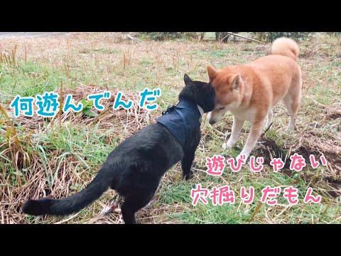 まじめにパトロールする猫と穴掘りに夢中の柴犬 Let's Go On Patrol !