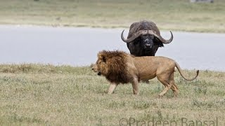 Brave Buffalo chases a Lion. Most Viral!