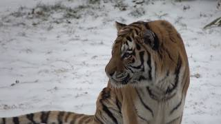 New Amur tiger debuts at the Smithsonian's National Zoo