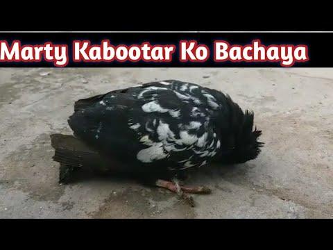 Download Laqway Jholy Ka Kamyab ilaj 100%    Hashim Mahmood Pigeons