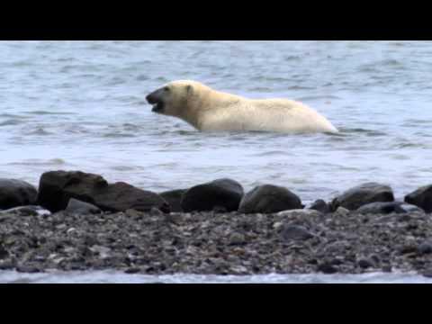 Белый медведь VS Моржа
