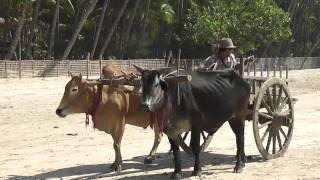 Ngapali Beach and ox drawn carts.m2ts