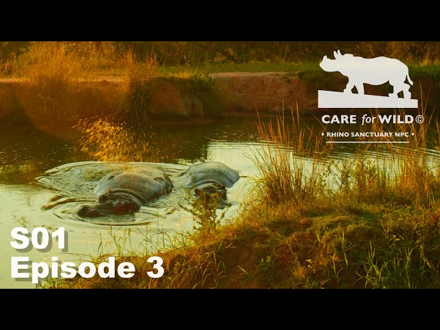 Treatment of Extremely Sick Rhino Oz | S01 Episode 3