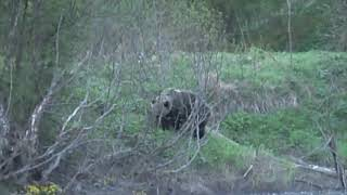 Первая встреча с медведями 2008 год The first meeting with the bears 2008 Bears on the shore