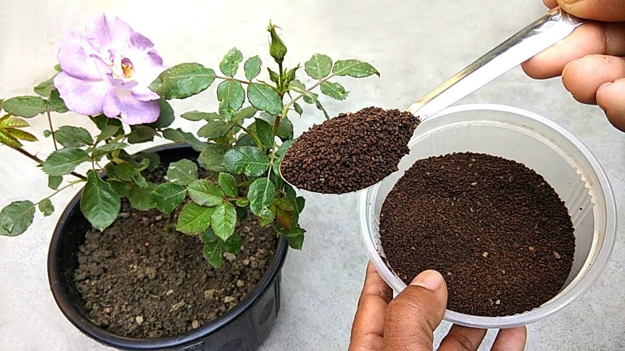 Natural Fertilizer For Rose Plants