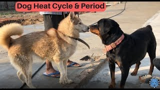 Dog pregnancy - Dog Heat Cycle & Period - Bhola Shola