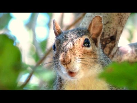 Gray Squirrel Alarm Call Decoded