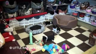 Little Rascals Uk Breeders New Litter Of Pure Chihuahuas - Puppies For Sale UK