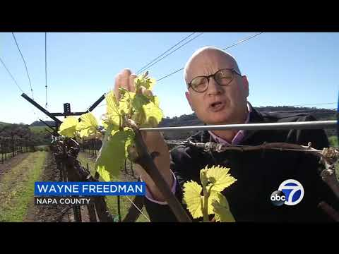 wine article Record early bud break in Napa Valley brings new worries