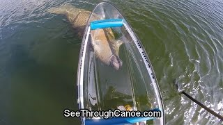 Manatee Chasing a Motorized See Through Canoe at Full Speed