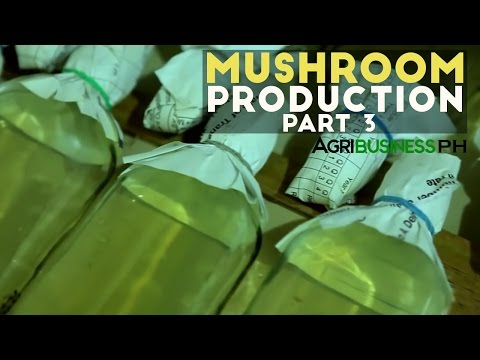 How to prepare mushroom substrate :  Mushroom production Part 3 #Agriculture