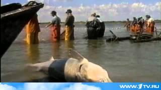 Запрет на промышленный лов осетровых в Каспии продлен ещё как минимум на год