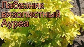 Лабазник вязолистный Ауреа (filipendula ulmaria aurea) 🌿 обзор: как сажать, рассада лабазника Ауреа