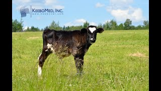Cow Diagnosed 77 Days Pregnant with RKU-10 Ultrasound Machine