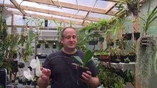 PHALAENOPSIS ORCHID CARE: HOW TO RE BLOOM PHALAENOPSIS OFF OLD FLOWER SPIKES