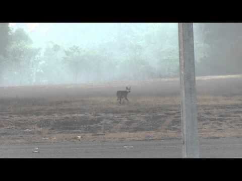 Dingo or Warrigal (disambiguation) chased by Masked Lapwing (Vanellus miles)