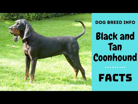Black and Tan Coonhound dog breed. All breed characteristics and facts about Black and Tan Coonhound