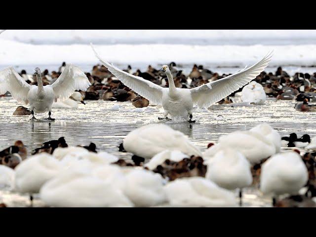 大寒、氷上にハクチョウ2800羽 新潟・阿賀野の瓢湖