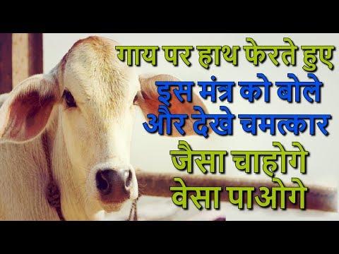 गाय पर हाथ फेरते...