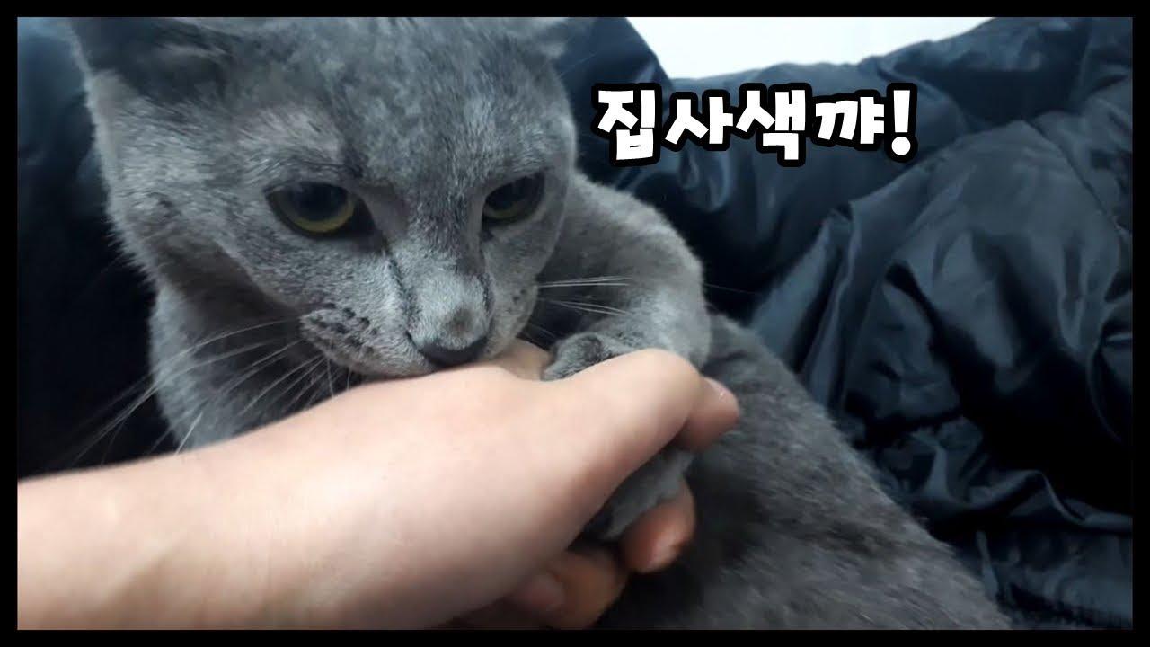 고양이】 러시안블루 고양이의 성격입니다 ㅜㅜ (Cat and Daily routine) - YouTube