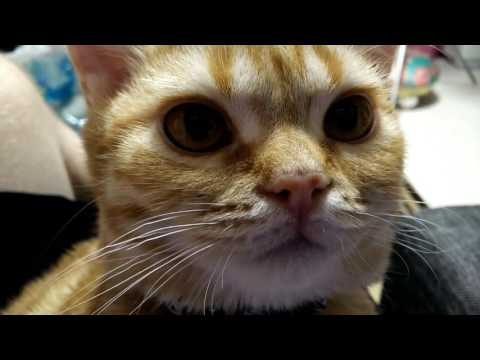 Orange American Shorthair Cat Purring