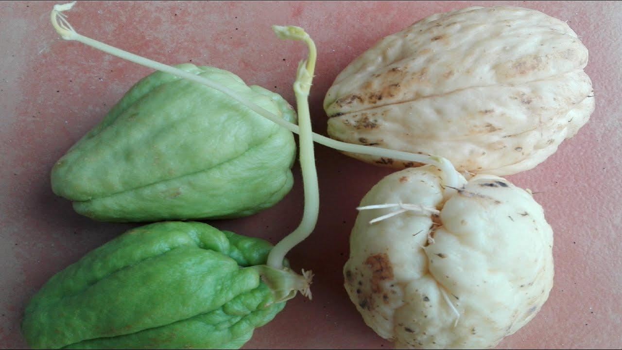 Sembrar chayote o patata del aire cultivo germinacion for Como plantar patatas en casa
