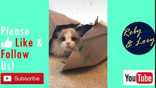 Ragdoll Cat Singapore: My Cat Hides In Box! Funny Kitten Video