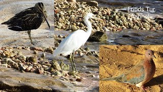 Egypt birds. Great egret, Common snipe, Streptopelia turtur
