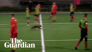 Fox in the box: furry pitch invader disrupts Estonian football match screenshot 4