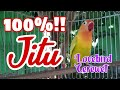Pasti Ampuh  Masteran Lovebird Ngekek Panjang Lovebird Ngetik Lovebird Gacor Lovebird Fighter  Mp3 - Mp4 Download