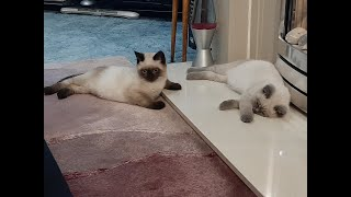 Cute British Shorthair colourpoint kittens at play
