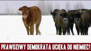 Komunikat Ministerstwa Prawdy nr 683: Krowa-demokrata