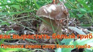 как вырастить белые грибы купить мицелий белого гриба семян спор белый гриб Белые грибы грибница