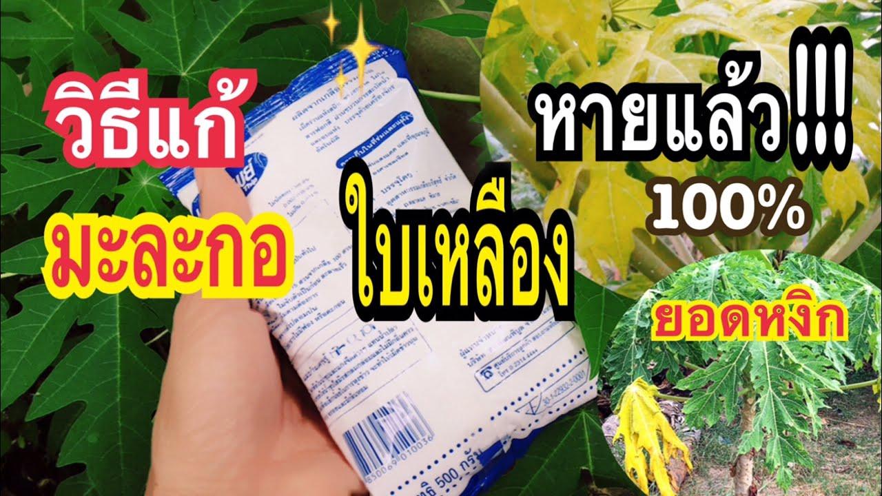ง่ายมาก!! #แก้มะละกอใบเหลืองใบหงิกงอใบจุด ใบด่าง #ให้ดกเต็มต้น แบบง่ายๆทำแล้วใช้ได้ทันทีแม่ก้อยพาทำ