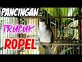 Pancingan Trucukan Ropel Agar Trucuk Bahan Bunyi Dan Gacor  Mp3 - Mp4 Download