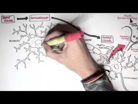 Neurology - Neuron