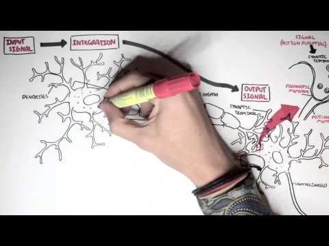 Neurology - Neuron