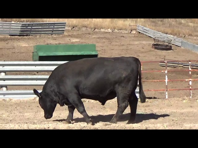 Connealy Angus Lot 118