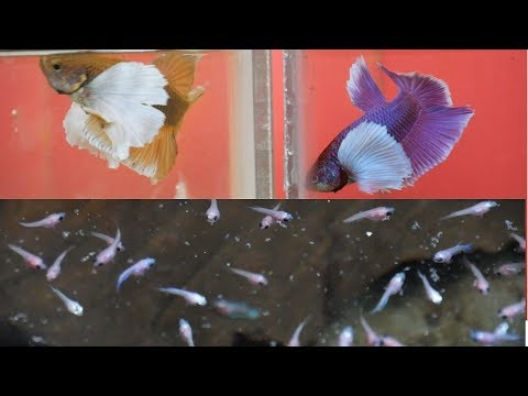 BEAUTIFUL Betta Fish Farm Raising Thousands Of Fish In SAIGON VIETNAM.