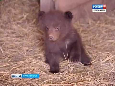 Осиротевшим медвежатам нужен заботливый хозяин